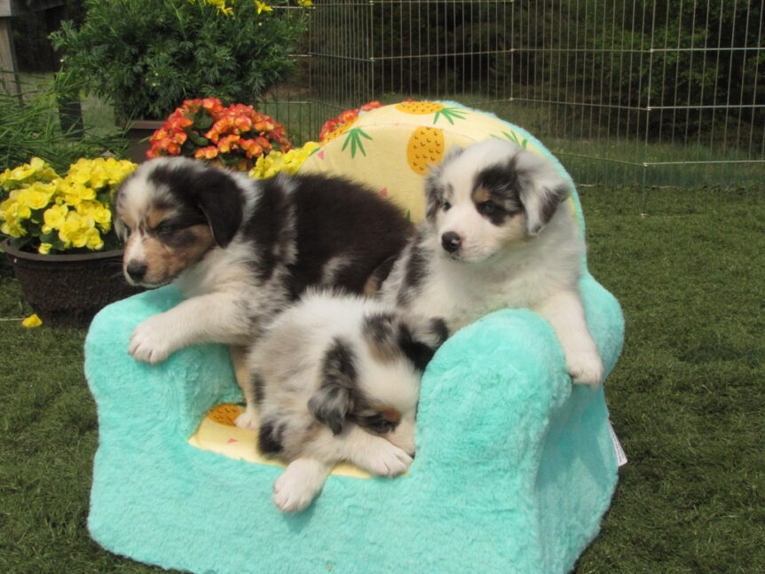 Puppies on chair